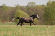 grey arab galloping through he beautiful field