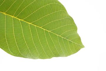 arboreal green leaf