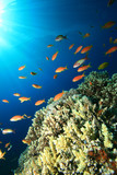 Lyretail Anthias above Acropora Corals poster