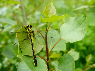 Golden black dragonfly