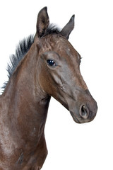 portrait of a foal isolated on a white background