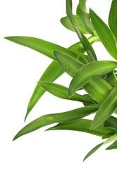 plantules d'agave