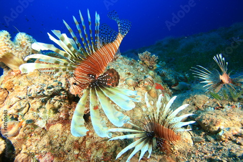 Common Lionfish (Pterois miles) hunting in the Red Sea