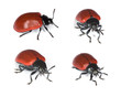 Red poplar leaf beetle (Chrysomela populi) isolated on white.