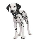 Dalmatian puppy poster