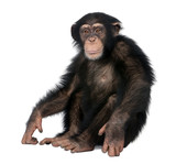 Young Chimpanzee - Simia troglodytes (5 years old)