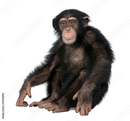 Foto op Canvas Aap Young Chimpanzee - Simia troglodytes (5 years old)