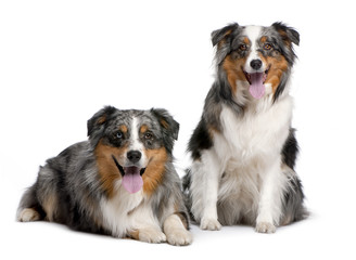 couple of two australian shepherd panting