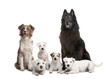 group of 5 dogs; 4 Parson Russell Terrier, a Australian Shepher