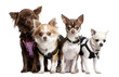 Group of 4 chihuahuas dressed-up