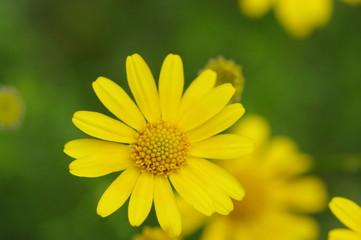 カモミール/黄色
