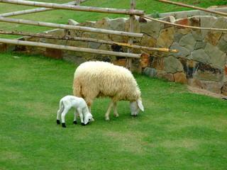 cheep with cute lambs