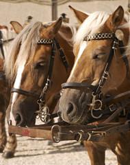 Cart horses, Salzburg Austria