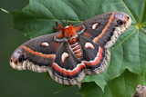 Cecropia on leaf