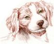 Britney Spaniel Puppy