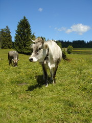 two cows in the mountain