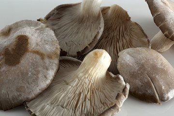 Austernpilze auf weiss