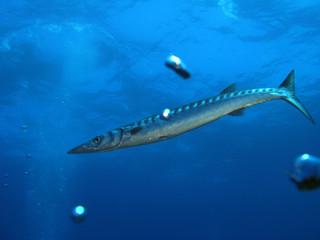 Barracuda (U18)