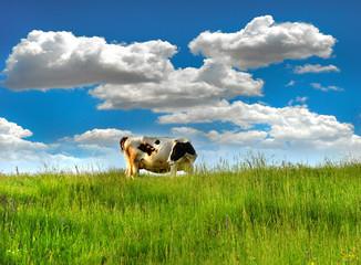 cow 30