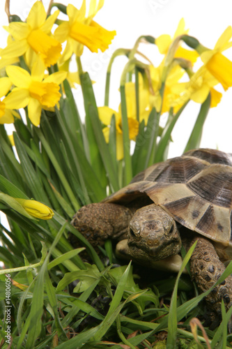 hermann tortoise in daffodils