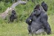 """Gorille """"dos argenté"""" et son petit"""
