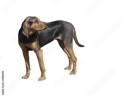 Black and Tan Coon Dog