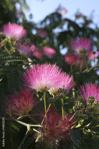 Acacia rose de constantinople en fleur photo libre de for Acacia de constantinople prix