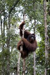 Wild orangutan, Borneo