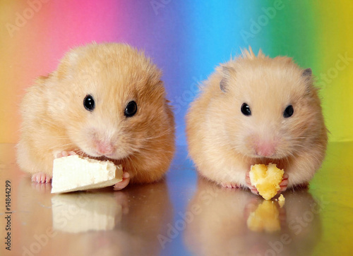 Two syrian hamsters eating together side by side