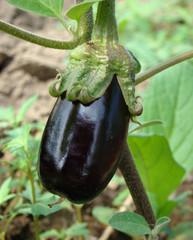 egg-plant of Solanum melongena, motherland of him in India