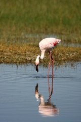 Lesser Flamingos and Reflection