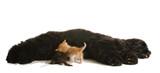 cocker spaniel dog nursing a litter of orphaned kittens poster