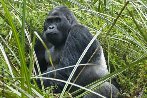 Fototapeten,gorilla,affen,eye,wildes wasser