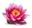 fleur de lotus sur fond blanc