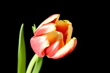 Tulip isolated on black background