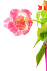 pink tulip isolated isolated on white background