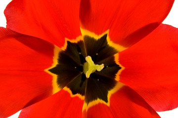 heart of red tulip in closeup