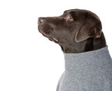 Shot of a Cool Looking Labrador in Grey Roll Neck Jumper