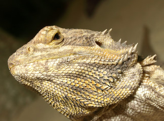 Leguan - seitlich