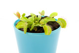 Blue pot with Dionaea