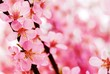 Abstract pink plum blossom