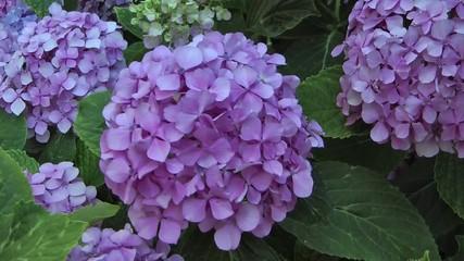 Ortensia lilla
