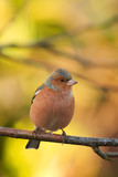 a male chaffinch in autumn colours