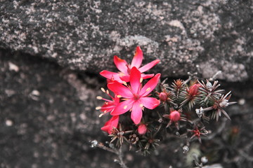 Endemic flower on the rocks of Mount Roraima in Venezuela