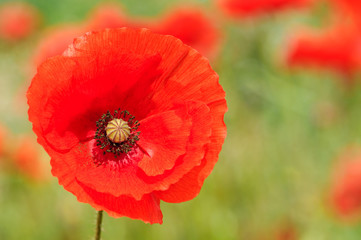 Perfect Red Poppy