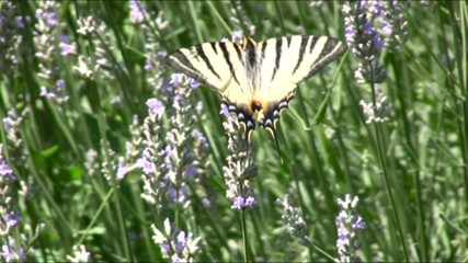 farfalla tigrata