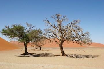 Acacia Trees in Sossusvlei, Namibia