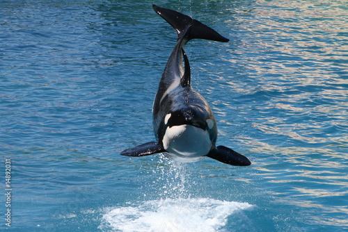 Killer whales - 14892031