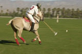 Polo Player leaning down from polo pony, Advancing Ball on polo field during match, side view
