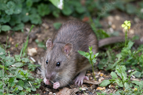 Fotobehang Dragen Wild Brown Rat